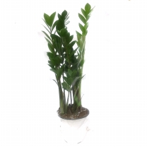 금전수 관엽
