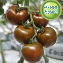 [산지직송]갓수확한 까만보석 쿠마토 2kg [월,수,금 지정발송]
