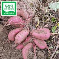 (인빌푸드)무농약 조엄 호박고구마 2kg