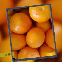 (인빌푸드)알토산 천혜향 10kg(사이즈혼합)(50~59과)