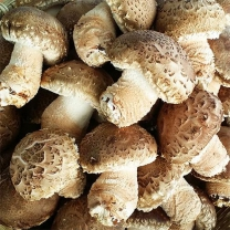 (인빌푸드)영주 송이표고버섯 상품 1kg
