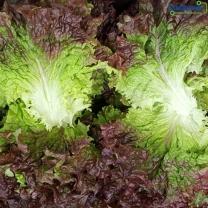 (인빌푸드)싱싱한 당진신평 꽃/청상추 반반 2kg