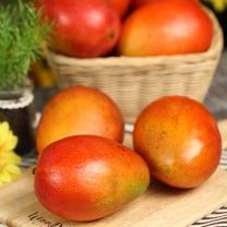 [보섭이네푸드]열대과일의 여왕 애플망고 1.8kg내외(9-11과)