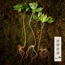 강원도 토종 정품 산양삼/산양산삼/장뇌삼 10년근이상 (4뿌리)