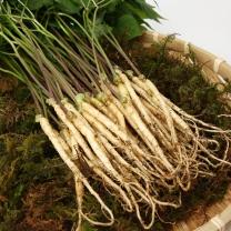 새싹삼(소) 100뿌리 250g내외