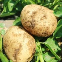 (인빌푸드)국사골 건강한 햇 감자(분감자) 3kg