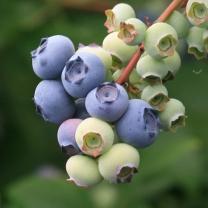 (인빌푸드)은자골 무농약 블루베리 2kg(500gX4팩)