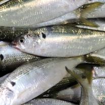 [착한어부]삼천포 앞바다 자연산 생물 전어(횟감용) 1Kg 15-20미
