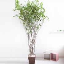 [바보사랑]라인-자작나무 245cm(사방형) 우드 5-5 [조화]