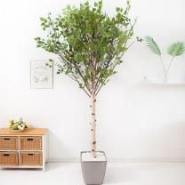 [바보사랑]기본Y자형 자작나무 230cm(사방형) 메탈 5-7 [조화]