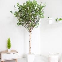 [바보사랑]기본Y자형 자작나무 230cm(사방형) 아크릴 5-5 [조화]