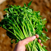 유기농 미나리 1kg