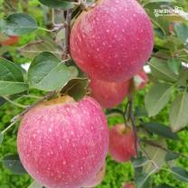 (인빌푸드)의성춘산사과(감홍) 10kg(36-42과)